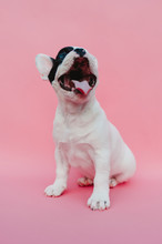 French Bulldog Puppy On Pink Background