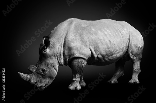 Photo sur Toile Rhino White rhinoceros (square-lipped rhinoceros) inhabiting South Africa on monochrome black background, black and white, rhino in wildlife