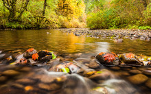 Autumn Leaves In South Fork Silver Creek Stuck To The Rocks And Golden Color Reflecting On The Water