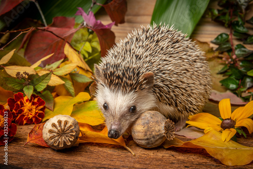 Photo  Four-toed Hedgehog (African pygmy hedgehog) - Atelerix albiventris funny autumna
