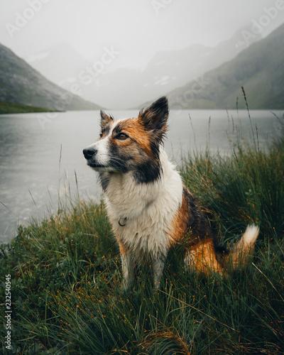 Icelandic sheep dog in front of lake