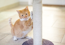 An Orange Tabby Domestic Shorthair Cat Using A Scratching Post
