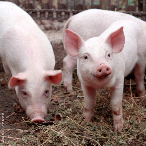 Two little cute pigs on the farm. Fototapeta