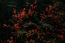 Bright Red Leaves Contrasted With A Dark Evergreen Background.