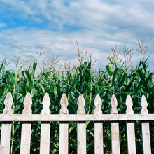 White Picket Fence In Front Of Corn Stalks Against A Cloudy Blue Sky
