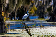 White Egret In Cajun Swamp & Lake Martin, Near Breaux Bridge And Lafayette Louisiana