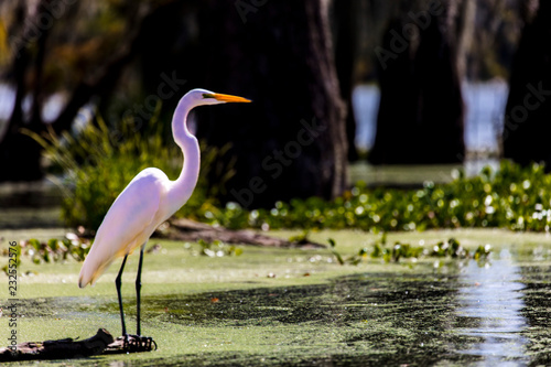 Photo White Egret in Cajun Swamp & Lake Martin, near Breaux Bridge and Lafayette Louis
