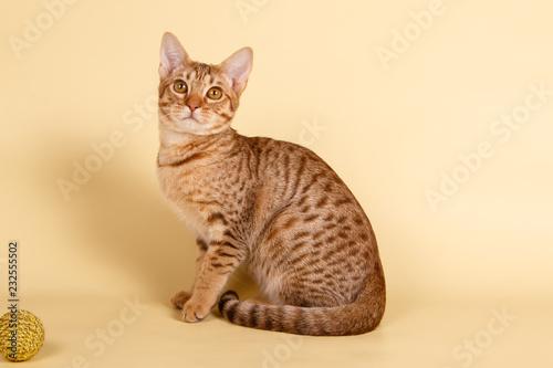 Fotografie, Obraz  Ocicat spotted cat on colored backgrounds