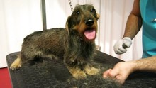 Grooming A Hard-haired Dachshund, The Toilet Performs The Work With The Dog Held In Place With A Chain On A Table, It Is Performed The Stripping And Cutting Of The Hair In Excess
