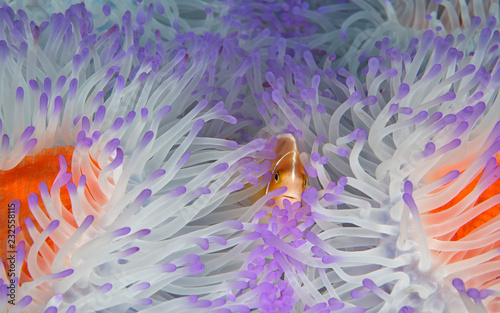 Clownfish in bleached anemone Wallpaper Mural