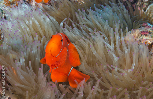 Fotografie, Tablou  Clownfish in anemone home
