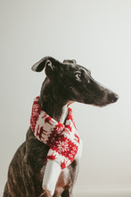 Greyhound With A Christmas Scarf