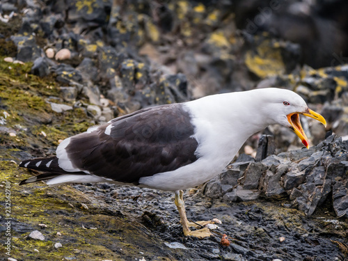 Staande foto Vogel Portrait of kelp gull, Larus dominicanus, with open beak, Hannah Point, Livingston Island, South Shetland Islands, Antarctica