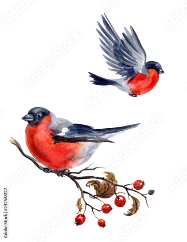 Photo  Bullfinch on hawthorn branch and flying bullfinch on white background, isolated with clipping path, watercolor illustration