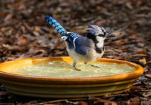 Perky Blue Jay Getting Wet And...