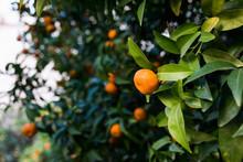 Tangerine Tree