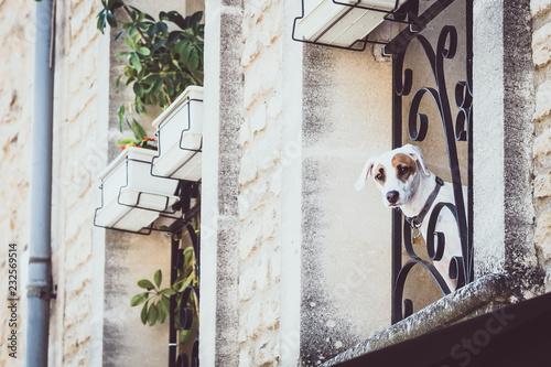 Fotografía  Chien jack russell qui regarde par la fenêtre