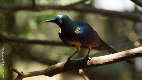 The golden-breasted starling is a small bird with a bright, blue tail and a blue back. It has a green head, white eyes, blue-violet wings, and a yellow breast, belly, and upper tail covers