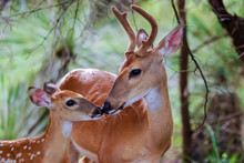 White Tail Buck And Fawn