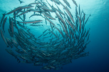 A School Of Barracuda In Forma...
