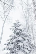 Evergreen Tree Covered In Freshly Fallen Snow