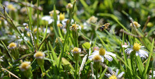 A Bee Flying Over White Flowers In The Grass