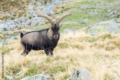 Tablou Canvas capra pyrenaica victoriae