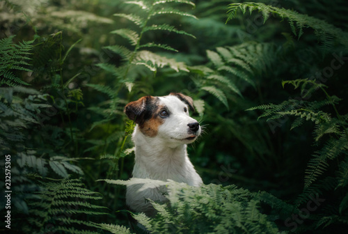 The dog in the woods. Jack Russell Terrier in the fern. Cute little pet in nature.