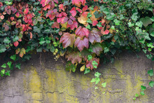 Colorful Leaves Against Old Wall