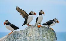 Atlantic Puffins, Machias Seal...