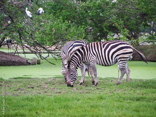 Zebra is feeding grass