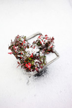 Snow On Gaultheria Plant With Red Berries