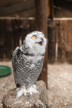 Young Snowy Owl In Captivity