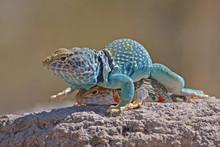 Collared Lizard, Dimorphic Male Anf Female
