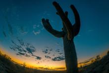 Super Wide Saguaro Cactus In Arizona Desk At Dusk.  Fish Eye Lens Look.