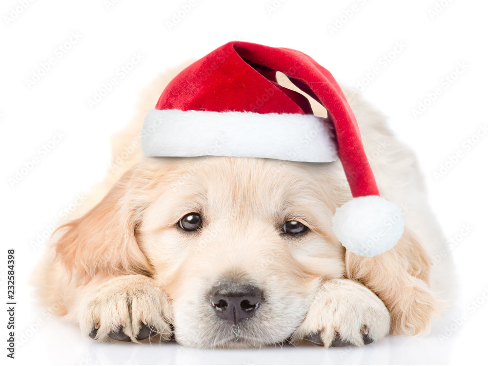 Fototapety, obrazy: Sad Golden Retriever puppy in red christmas santa hat lying in front view. isolated on white background