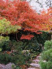 Fall Leaves In Japan