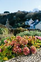 Hydrangeas Growing In A Coastal Garden At Cwm Yr Eglwys In Wales.