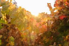 Vineyard Grape Leaves Turning Red In The Fall