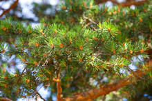 Pine Needles On A Sunny Day