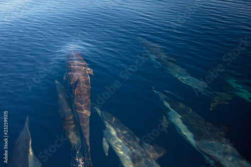 Fototapeta Pod of 7 common bottlenosed dolphins swimming underwater near Santa Cruz island