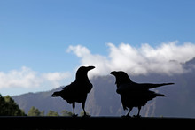 Silhouette Of Two Ravens