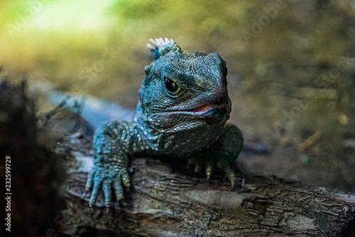 Photo Portrait of Tuatara New Zealand native reptile