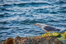 Seagull On The Rocks In The Ocean