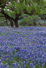 Spring Bloom Of Bluebonnets (Lupinus Texensis) In The Hill Country Of Texas.  Species Of Lupine Endemic To Texas; Also The State Flower Of Texas.