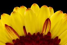 Yellow Gerbera Daisy, Macro