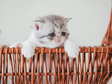 Exotic Shorthair Cat Pets