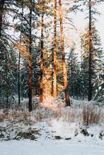 Sunset Light On Snow Covered Pine Trees.