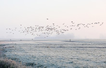 Flying Ducks On A Cold Morning...