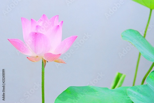 Pink Lotus Flower And Leaves The Pink Lotus Is The National Flower